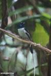 Male Madagascar paradise flycatcher [madagascar_masoala_0253]