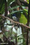 Male Madagascar paradise flycatcher [madagascar_masoala_0254]