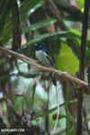 Male Madagascar paradise flycatcher [madagascar_masoala_0255]