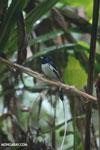 Male Madagascar paradise flycatcher [madagascar_masoala_0256]
