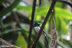 Male Madagascar paradise flycatcher [madagascar_masoala_0261]