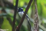 Male Madagascar paradise flycatcher [madagascar_masoala_0262]