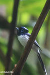 Male Madagascar paradise flycatcher [madagascar_masoala_0263]
