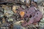 Plethodontohyla notosticta frog [madagascar_masoala_0268]