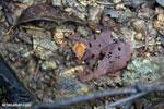 Plethodontohyla notosticta frog [madagascar_masoala_0269]