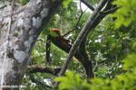 Red-ruffed lemurs [madagascar_masoala_0272]
