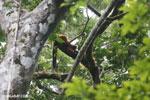 Red-ruffed lemurs [madagascar_masoala_0273]