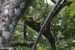 Red-ruffed lemurs [madagascar_masoala_0276]