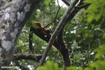 Red-ruffed lemurs [madagascar_masoala_0277]