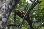Red-ruffed lemurs [madagascar_masoala_0278]