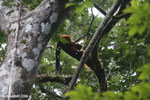 Red-ruffed lemurs [madagascar_masoala_0279]