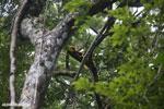 Red-ruffed lemurs [madagascar_masoala_0280]