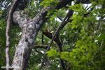 Red-ruffed lemurs [madagascar_masoala_0281]
