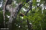 Red-ruffed lemurs [madagascar_masoala_0282]