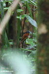 Female Madagascar paradise flycatcher