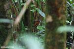 Female Madagascar paradise flycatcher [madagascar_masoala_0296]