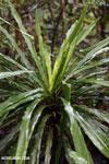 Plant [madagascar_masoala_0298]