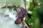 Short-legged Ground Roller (Brachypteracias leptosomus) [madagascar_masoala_0303]