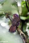 Short-legged Ground Roller (Brachypteracias leptosomus) [madagascar_masoala_0306]