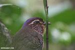 Short-legged Ground Roller (Brachypteracias leptosomus) [madagascar_masoala_0310]