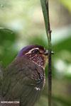 Short-legged Ground Roller (Brachypteracias leptosomus) [madagascar_masoala_0313]