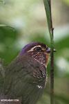 Short-legged Ground Roller (Brachypteracias leptosomus) [madagascar_masoala_0314]