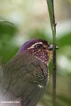 Short-legged Ground Roller (Brachypteracias leptosomus) [madagascar_masoala_0316]