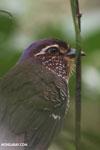 Short-legged Ground Roller (Brachypteracias leptosomus) [madagascar_masoala_0317]