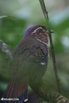 Short-legged Ground Roller (Brachypteracias leptosomus) [madagascar_masoala_0318]