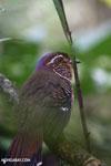 Short-legged Ground Roller (Brachypteracias leptosomus) [madagascar_masoala_0319]