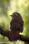 Short-legged Ground Roller (Brachypteracias leptosomus) [madagascar_masoala_0323]