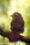 Short-legged Ground Roller (Brachypteracias leptosomus) [madagascar_masoala_0324]