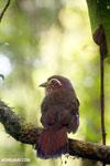 Short-legged Ground Roller (Brachypteracias leptosomus) [madagascar_masoala_0325]