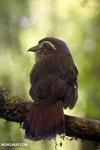 Short-legged Ground Roller (Brachypteracias leptosomus) [madagascar_masoala_0327]