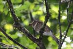 Short-legged Ground Roller (Brachypteracias leptosomus) [madagascar_masoala_0330]