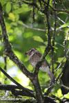 Short-legged Ground Roller (Brachypteracias leptosomus) [madagascar_masoala_0332]