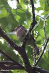 Short-legged Ground Roller (Brachypteracias leptosomus) [madagascar_masoala_0335]