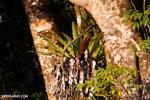 Birdnest fern [madagascar_masoala_0372]