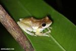 Frogs [madagascar_masoala_0387]