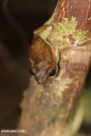 Frogs [madagascar_masoala_0398]