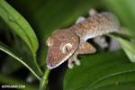 Uroplatus fimbriatus gecko [madagascar_masoala_0412]
