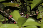 Greater dwarf lemur (Cheirogaleus major) [madagascar_masoala_0436]