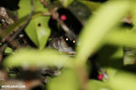 Greater dwarf lemur (Cheirogaleus major) [madagascar_masoala_0438]