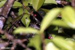 Greater dwarf lemur (Cheirogaleus major) [madagascar_masoala_0439]