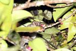 Greater dwarf lemur (Cheirogaleus major) [madagascar_masoala_0441]