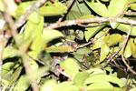 Greater dwarf lemur (Cheirogaleus major) [madagascar_masoala_0442]