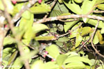 Greater dwarf lemur (Cheirogaleus major) [madagascar_masoala_0443]