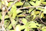 Greater dwarf lemur (Cheirogaleus major) [madagascar_masoala_0444]