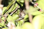 Greater dwarf lemur (Cheirogaleus major) [madagascar_masoala_0450]