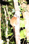 Scott's Sportive Lemur (Lepilemur scottorum) [madagascar_masoala_0454]
